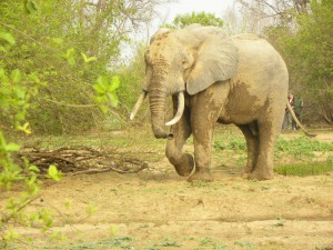 One of the elephants at Mole