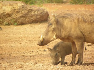 Momma and baby warthog. Not sure why I love them so much...