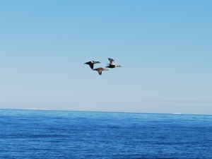 Eiders flying in between Haklyut and Northumberland